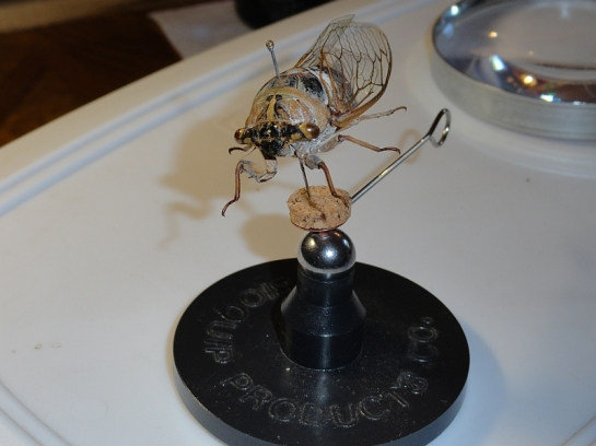 cicada set-up (10)