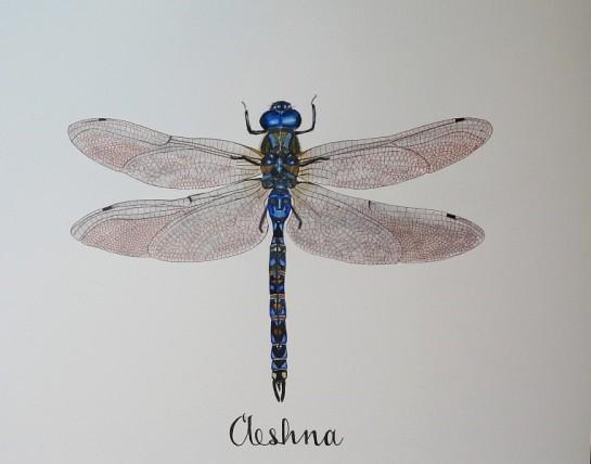 Aeshna dragonfly small