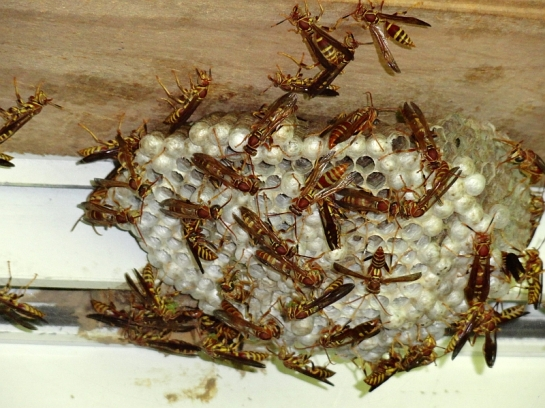 Paper Wasp Nest small